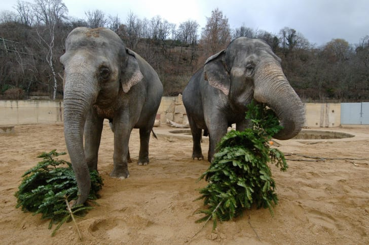 Two elephants snacking on pine trees.