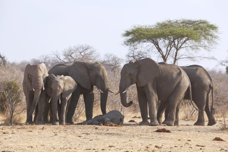 Elephants mourning the death of a baby elephant.