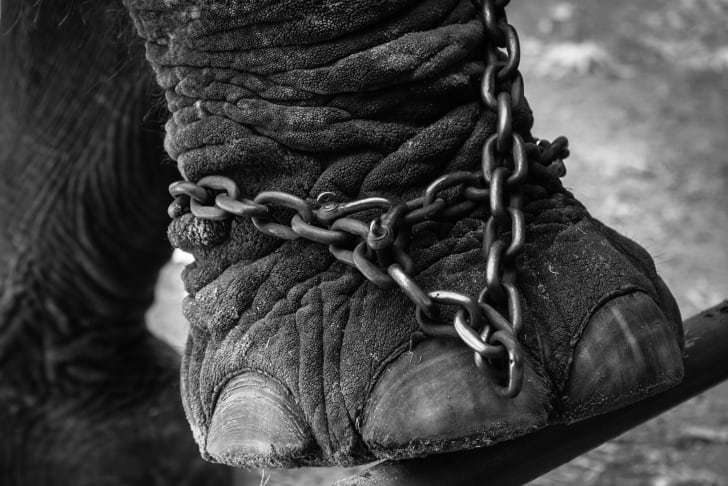Elephant foot in chains.