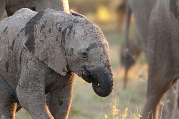 Baby elephant sucking its trunk.