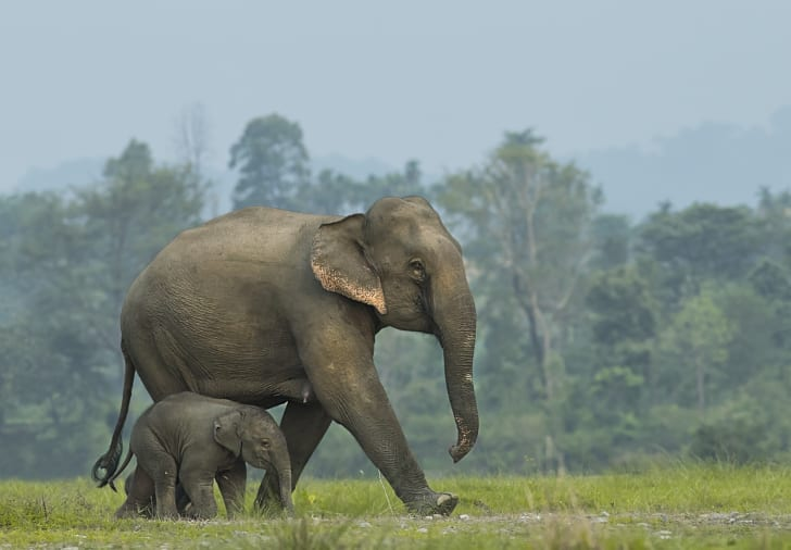 A baby elephant and a mother go for a walk.