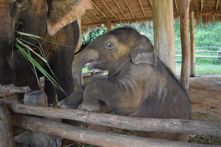 Baby elephant looks startled.