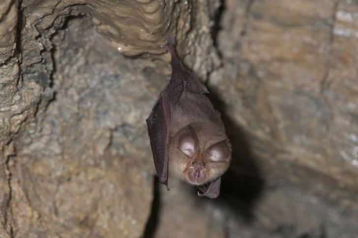 Horseshoe bat (Rhinolophus ferrumequinum)