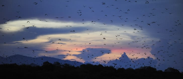A swarm of fruit bats flying in Indonesia