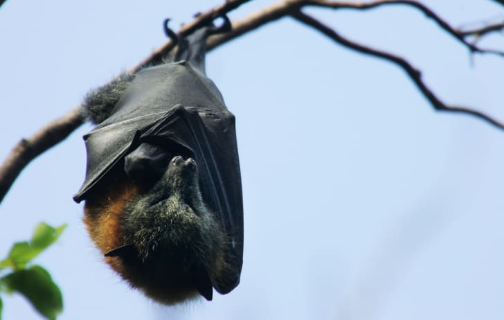 A Grey-Headed Flying Fox hangs from its roost at the Royal Botanic Gardens March 20, 2008 in Sydney, Australia
