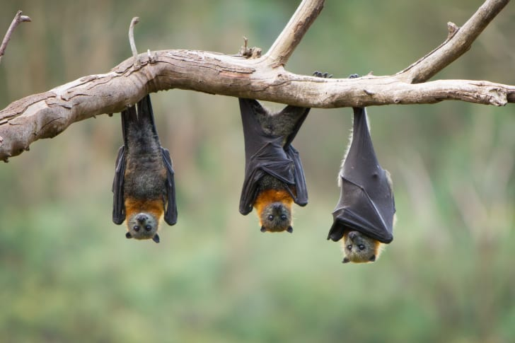 Three bats hanging upside down on a branch