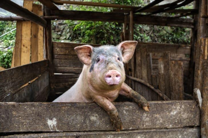 pig in pig pen