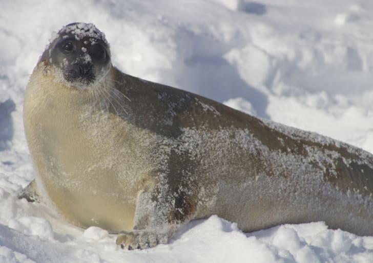 seal on snow