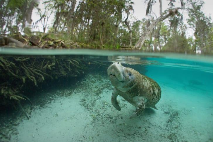 A manatee swimming at Three Sisters Springs