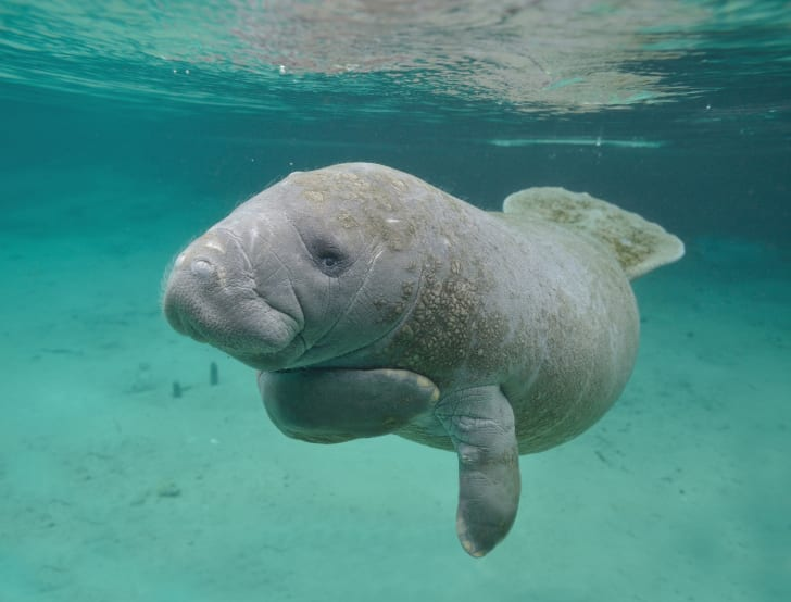 A manatee swimming in Florida's Crystal Spring river