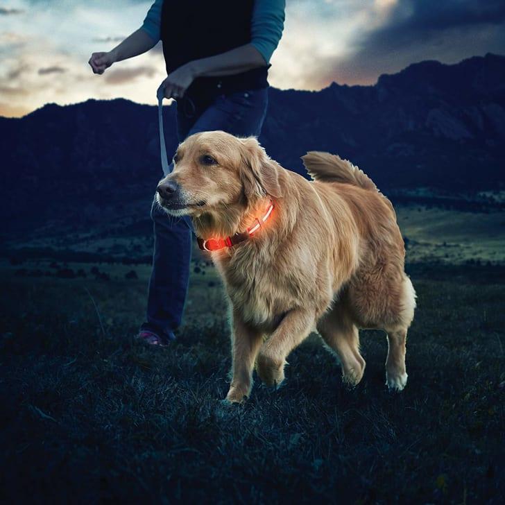A Golden Retriever wears a light-up collar while walking through a field.