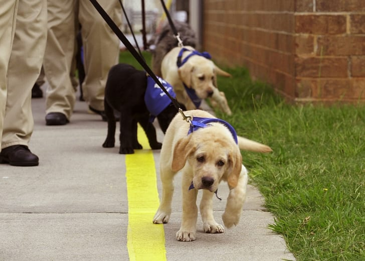 Guide dog puppies in training are led by their trainers.