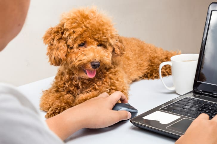 A poodle puppy sits on a desk next to a man working on a laptop.