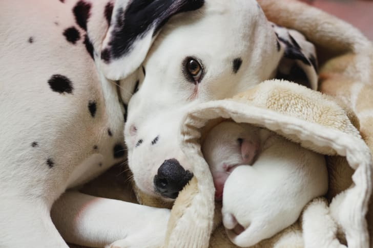 A mother Dalmatian and her puppy snuggle together.