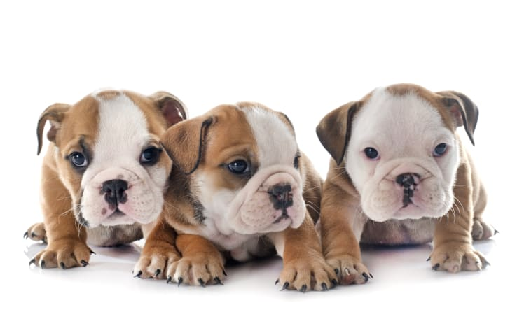 Three bulldog puppies