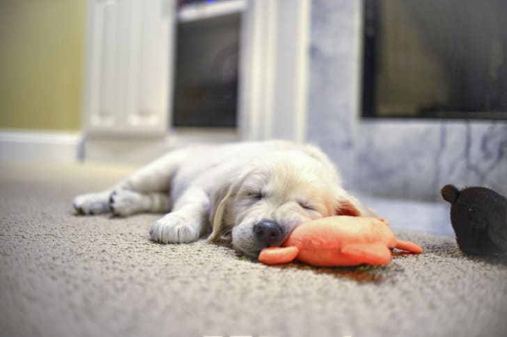 A puppy sleeps against a plush toy.