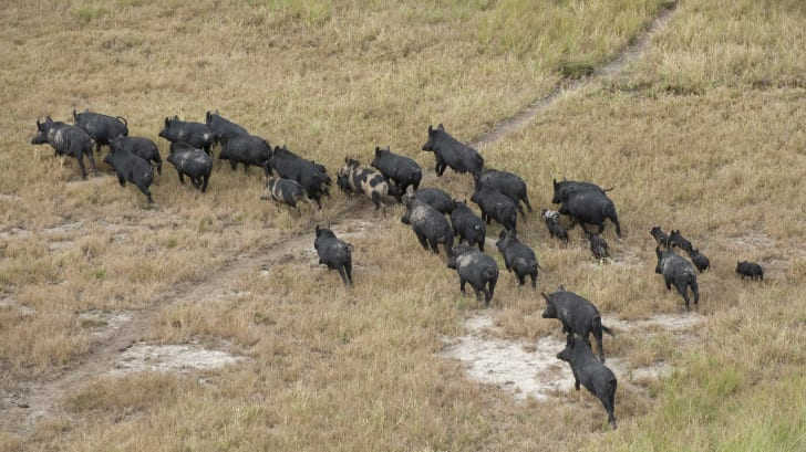 Wild boars walk across a field