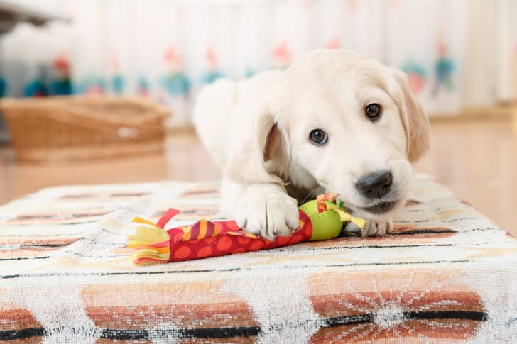 Golden retriever puppy playing with a toy