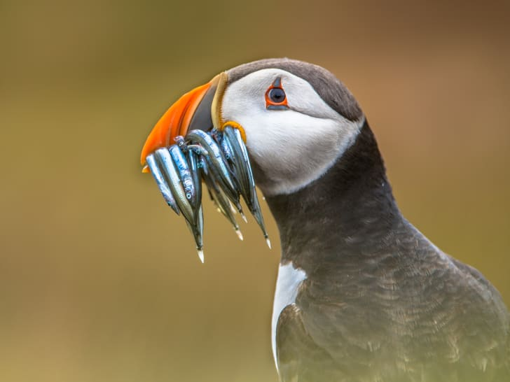 Atlantic puffin with silver fish in its beak