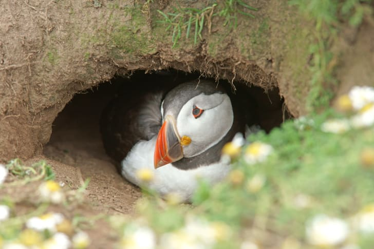 Atlantic puffin in its nest burrow