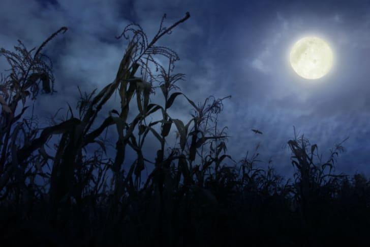 A cornfield is seen under a full moon