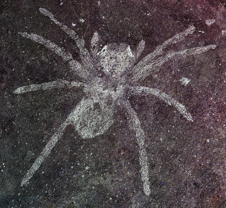 The fossilized spider