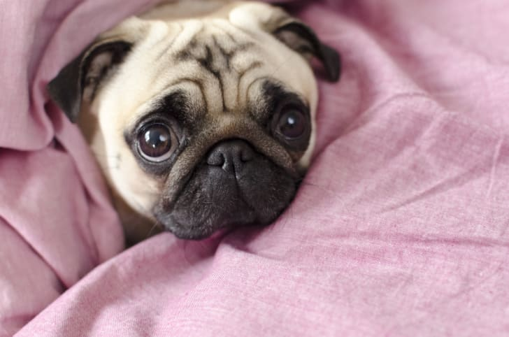 Pug wrapped in a pink blanket