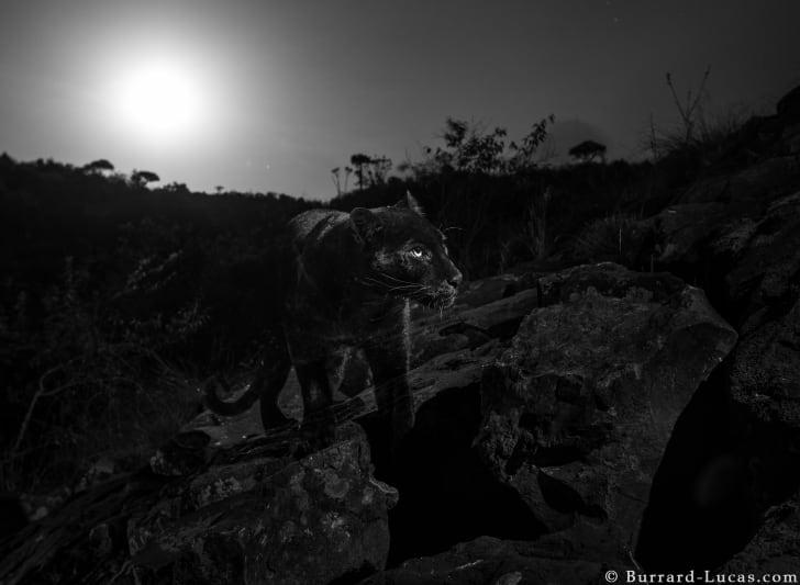 Black leopard at night