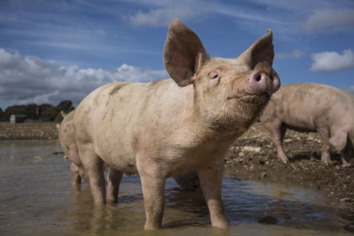 A pig in a mud puddle
