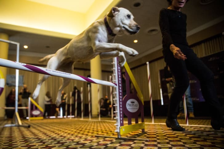 Lacey, a Labrador, runs through a sport course during a press preview for the Westminster Dog Show on February 12, 2015 in New York City