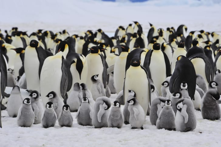 An image of emperor penguins and their chicks in Antarctica.