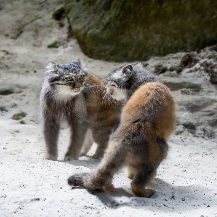 A pair of Pallas's cats size each other up