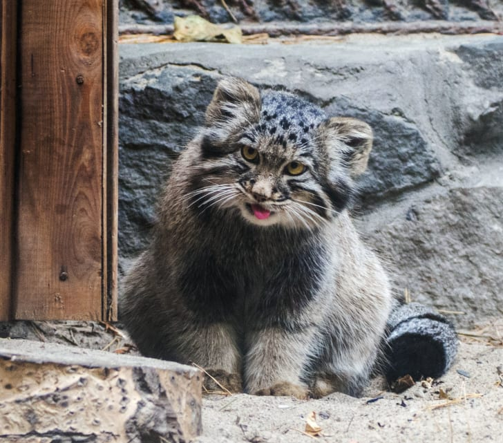 A Pallas's cat sticks its tongue out