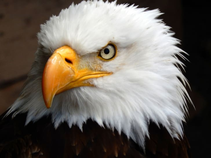 Close-up of a bald eagle's face.
