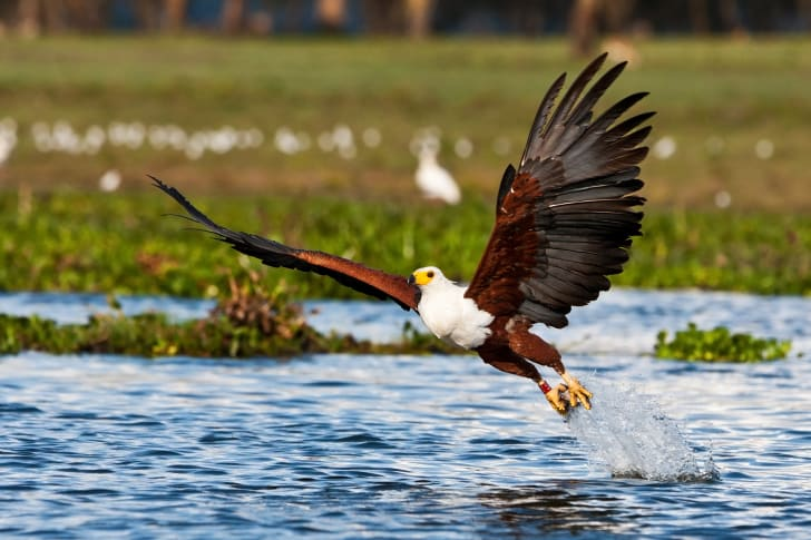 An African fish eagle flies over the water.