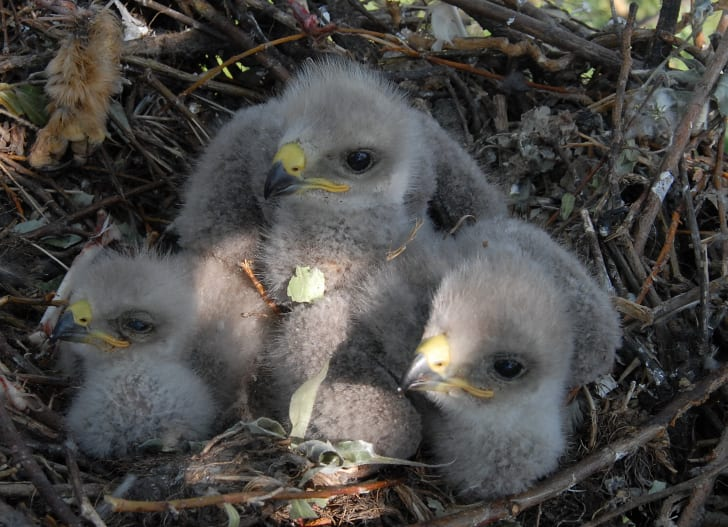 Baby eagle chicks in a nest.
