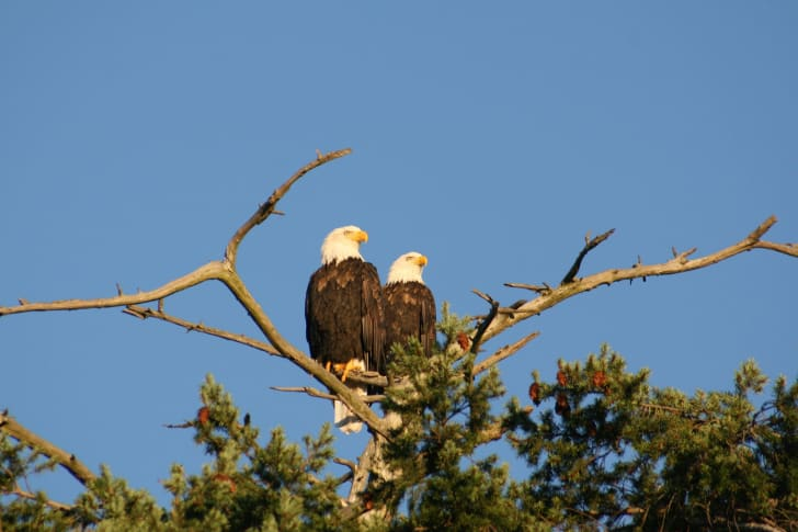 Two bald eagles perched on a tree.