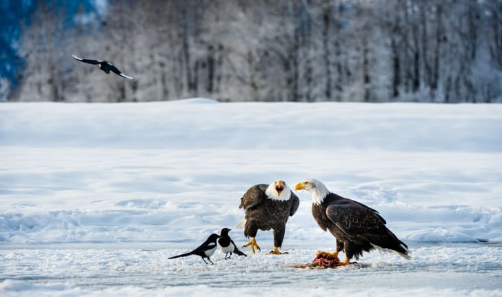 Two bald eagles guard their prey against two magpies on a snowy field.