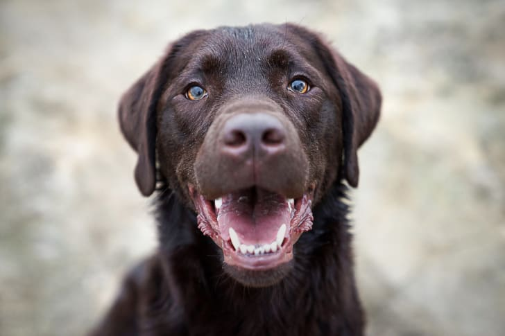Brown Labrador Retriever with its mouth open