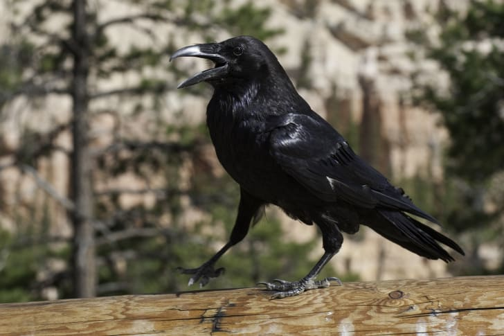 A raven with its beak open