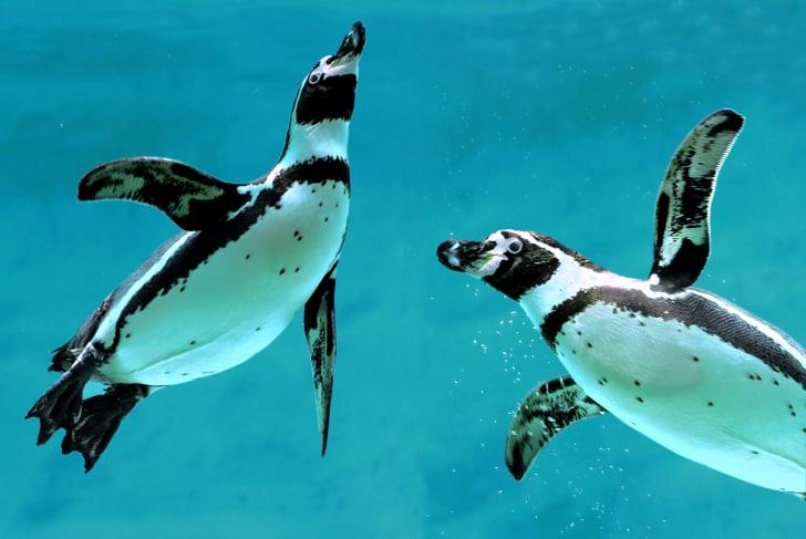 Penguins swimming in the ocean