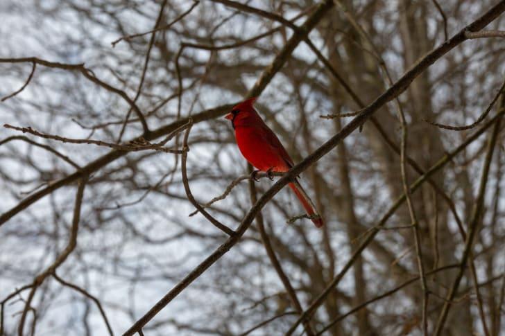 a cardinal on a branch
