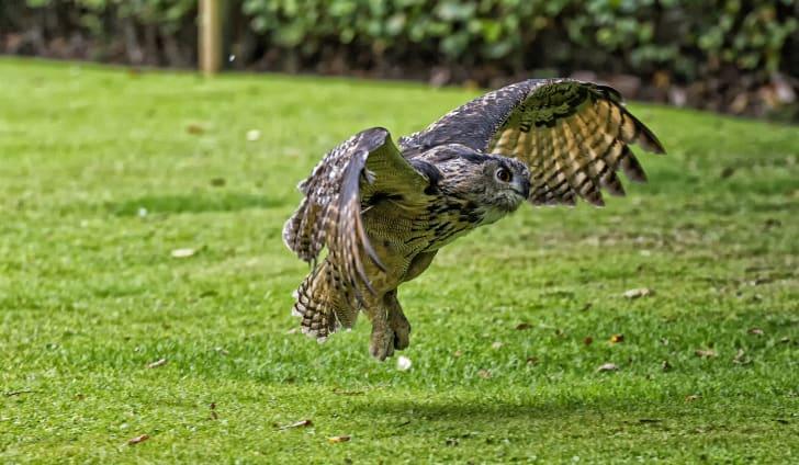 An owl landing on the grass
