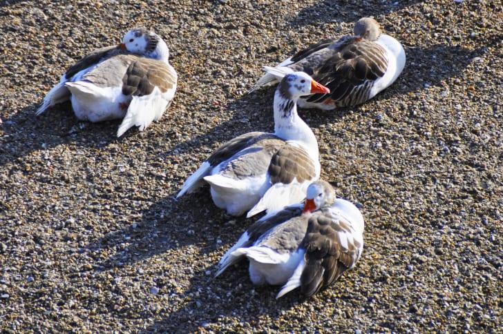 four sleeping ducks