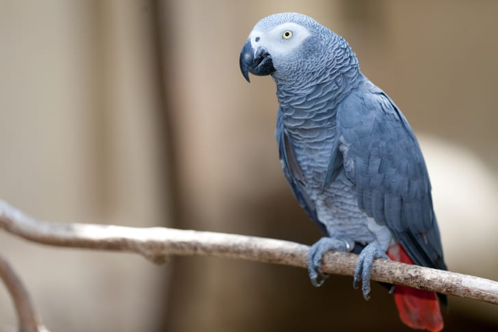 African grey parrot on a branch