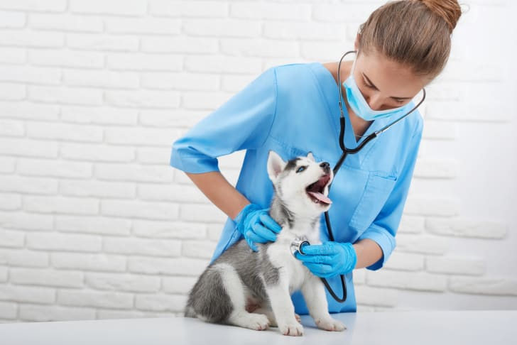 Husky puppy being examined by a veterinarian