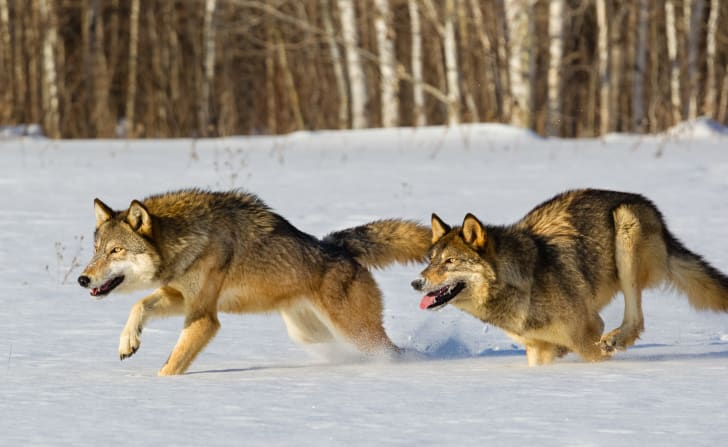 Two gray wolves running through a snowy landscape