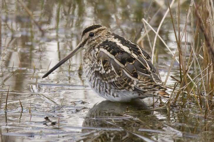 Common snipe standing in a marsh
