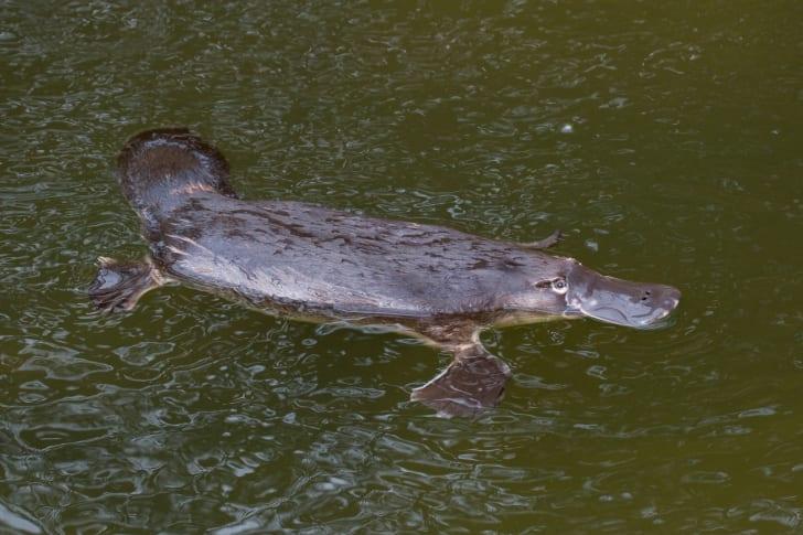 Platypus swimming in greenish water