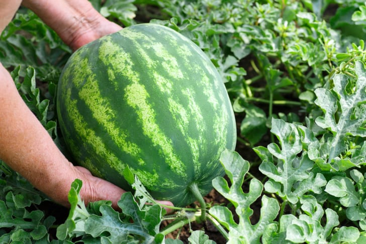 A watermelon in a garden